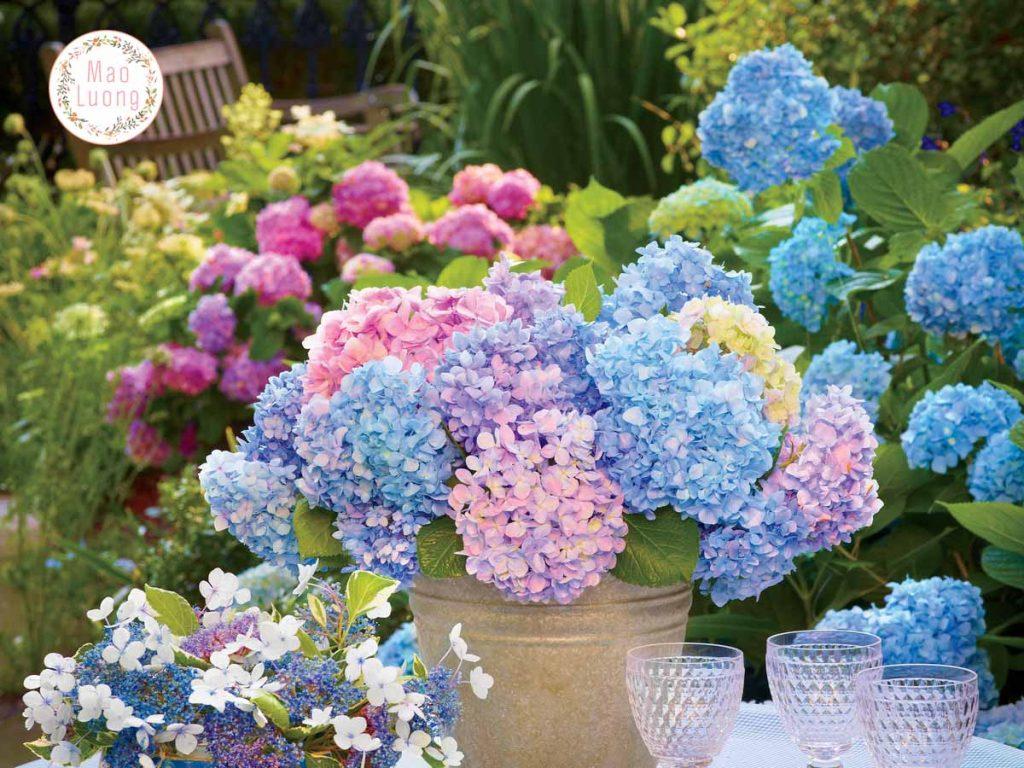 Hydrangea Hortensia